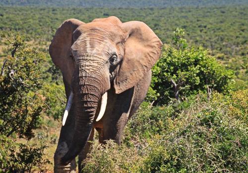 Фото: Саванный слон