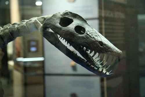 Стиксозавр скелет