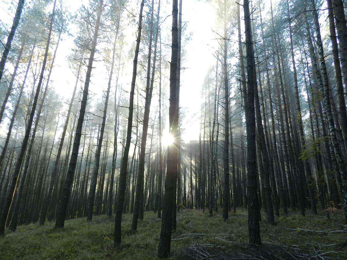 стволы деревьев, лучи восходящего солнца,