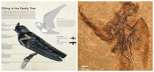 Вид птиц Eocypselus-доисторический предок колибри и стрижей