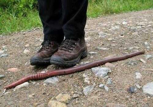 Фото: африканский гигантский червь