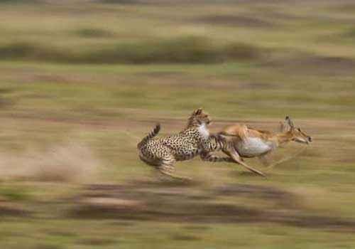 атака, гепарда, хищник, газель-доркас,