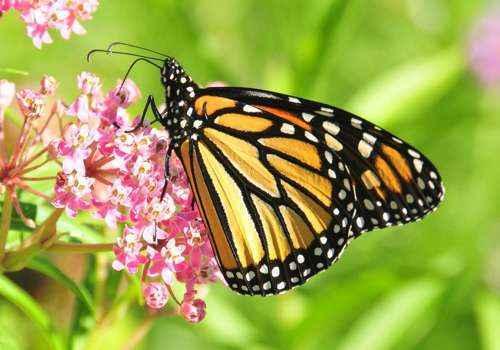 бабочка Данаида монарх, черно-оранжевая бабочка, на цветах, на цветке, зеленый фон