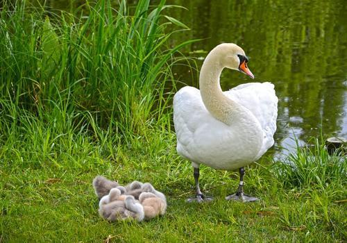 белый лебедь с птенцами