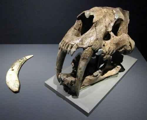 череп смилодона