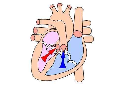 четырех-камерное-сердце