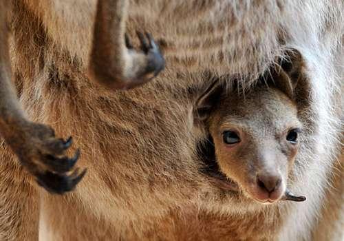 детеныш кенгуру в сумке мамы