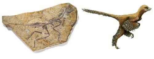 фото окаменелостей доисторической птицы-Aurornis