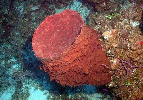 Фото: Гигантская морская губка