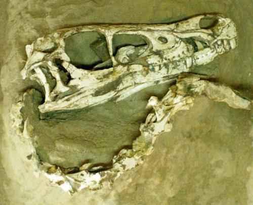 ископаемые останкидинозавра