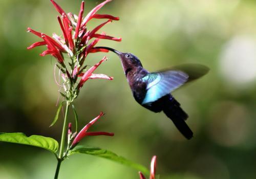 колибри собирает нектар