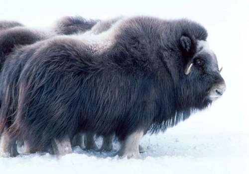 лохматый овцебык