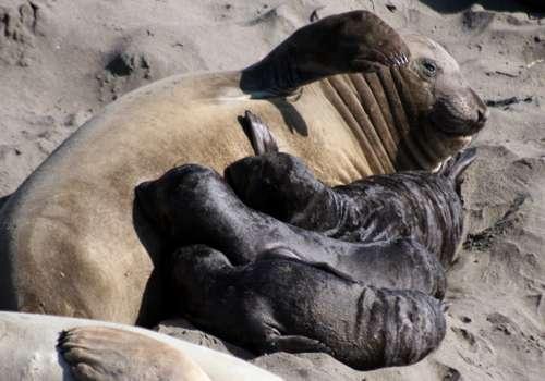 мать морского слона кормит своих детенышей грудью