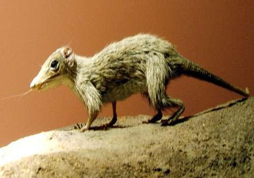 мегазостродон - звереподобная рептилия