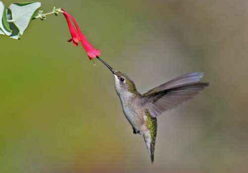 обыкновенный рубиновогорлый колибри, маленькая птица, птичка