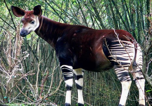 окапи - родственник жирафа