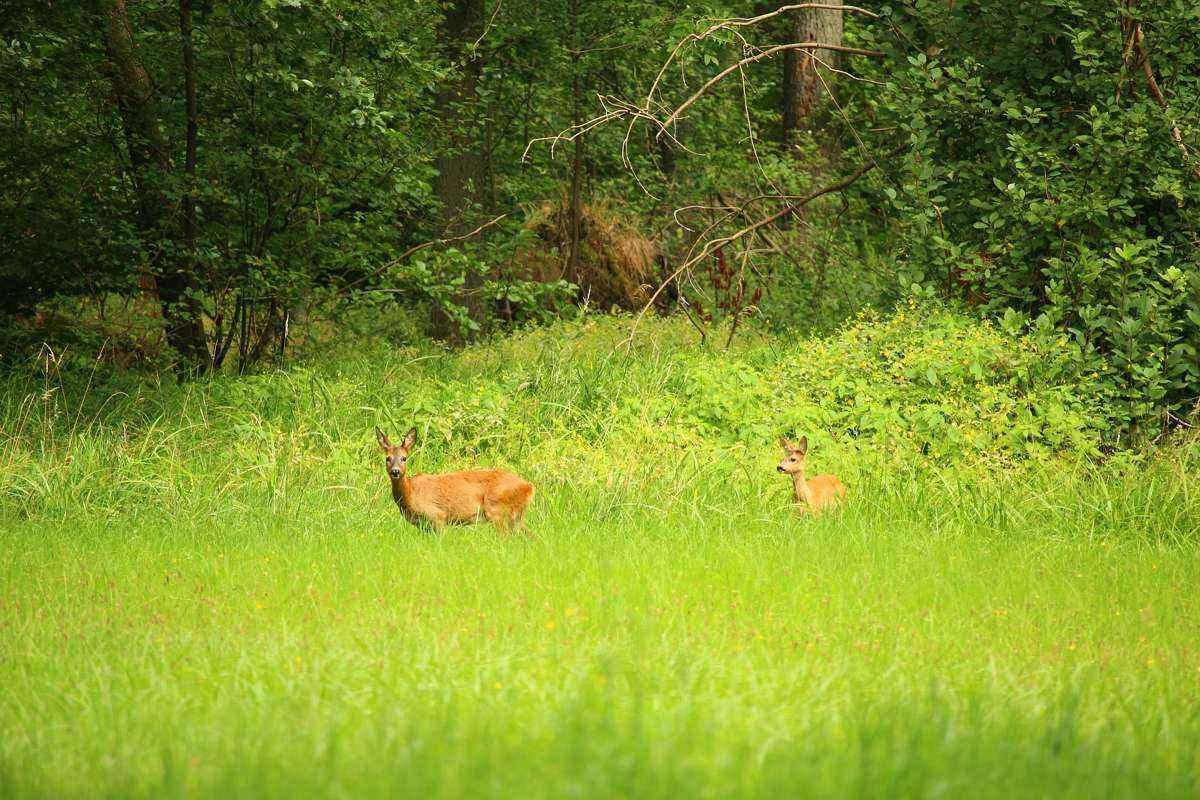 олени, выкая трава, зеленая трава, окраина леса,