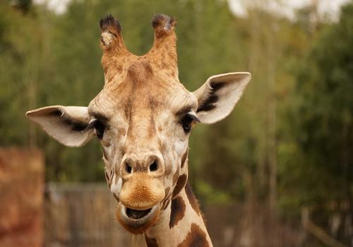 оссиконы - рога жирафа