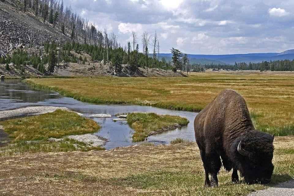 овцебык возле горного ручейка