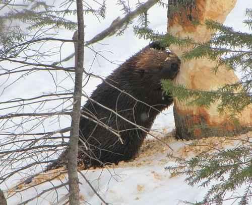 питание канадского бобра
