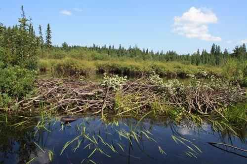 плотина канадского бобра