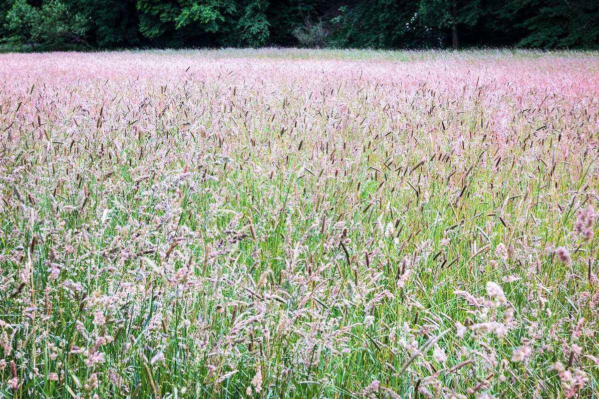 поляна, мятлик луговой, на краю леса