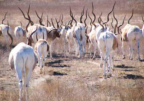 аддакс, антилопы мендес, стадо