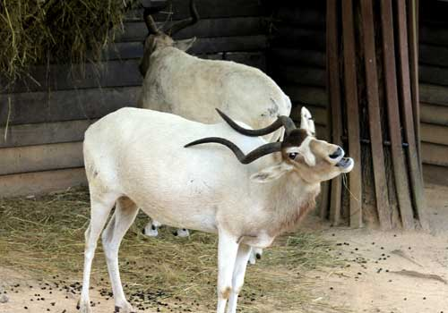 аддакс, антилопы мендес, в неволе