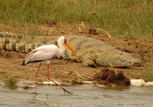 птицы и крокодилы имеют родственную связь
