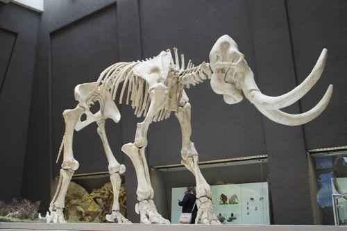 реконструкция скелета мамонта