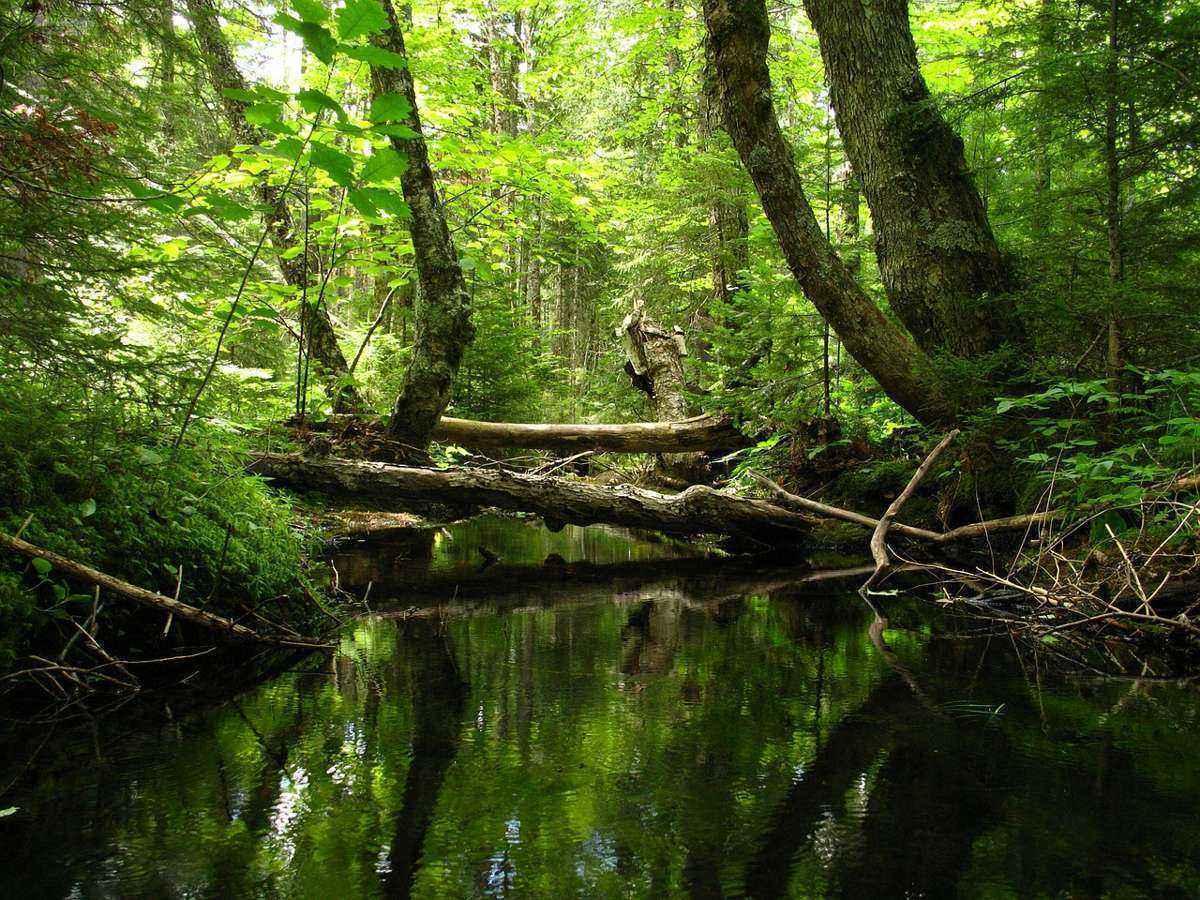зеленый лес, ручей, упавшие стволы деревьев