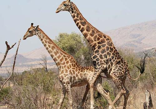 секс жирафов