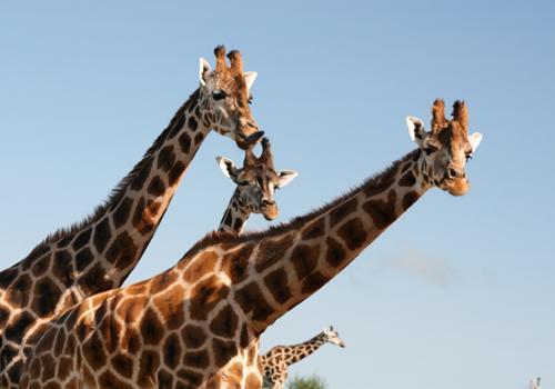 шеи жирафов