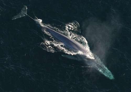 синий кит - вид сверху