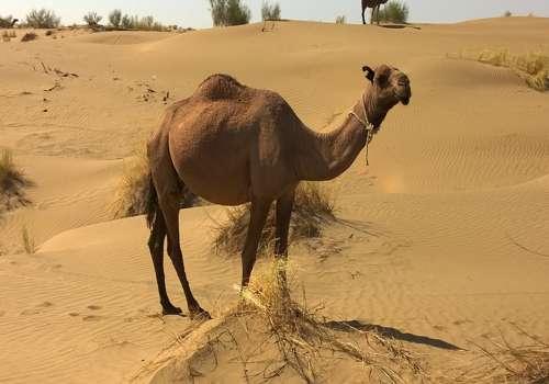 верблюд в пустыни