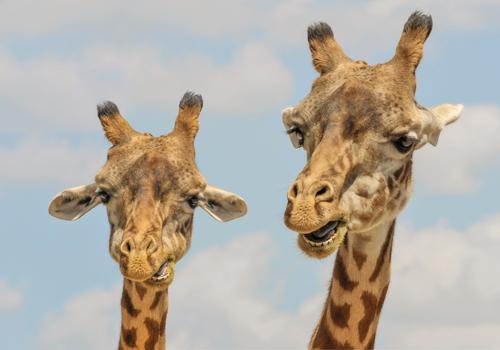 жирафы - жвачные животные