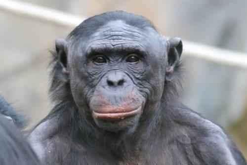 bonobo-karlikovyj-shimpanze