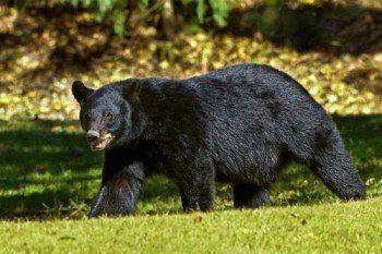chernyj-medved-ili-baribal