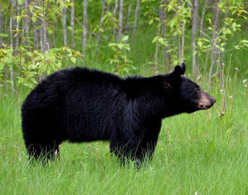 chernyj-medved-ili-baribal-v-zelenoj-trave