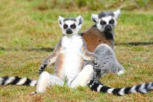 koshachie-lemury