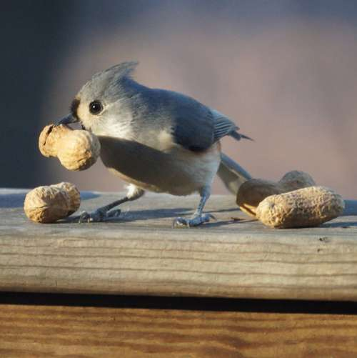 Острохохлая синица клюет арахис