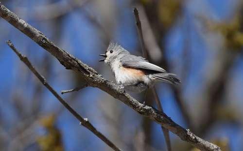 Острохохлая синица - певчая птичка