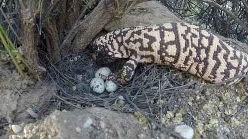 аризонский ядозуб ест яйца птиц