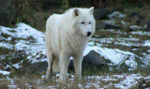 belyj-volk
