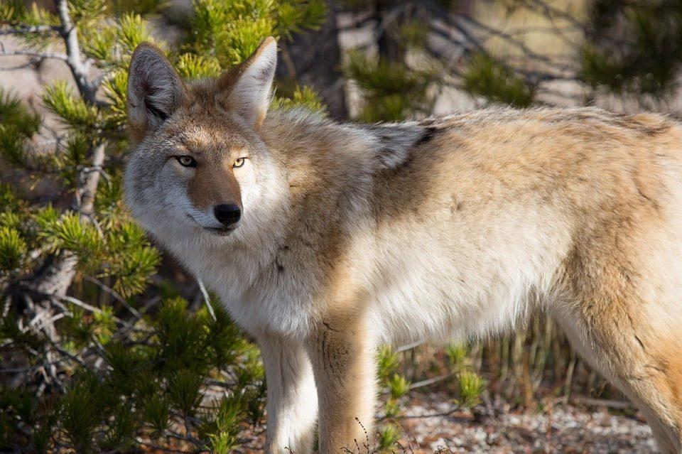 foto-krasivogo-kojota