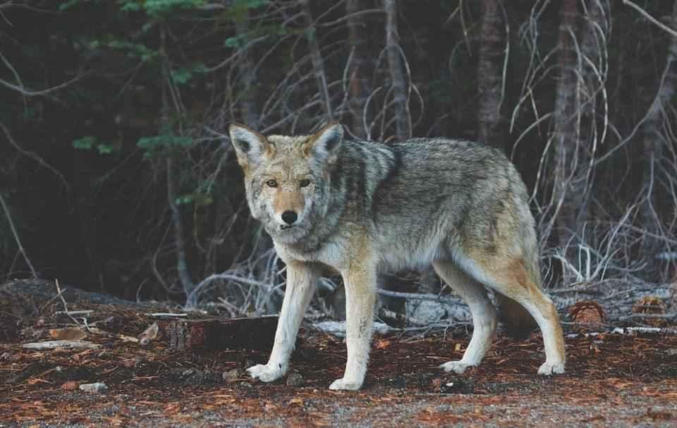 foto-zhivotnoe-kojot