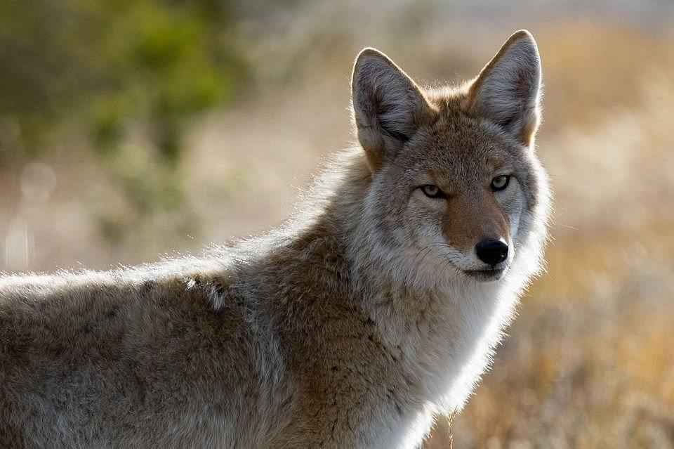 kojot-krupnym-planom