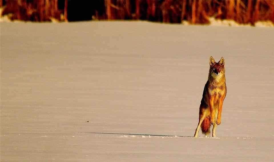 kojot-na-zadnih-lapah
