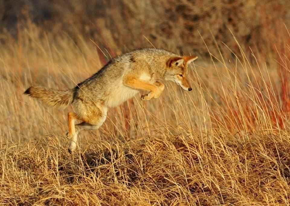 kojot-v-pryzhke