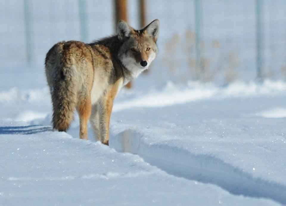 kojot-v-snegu